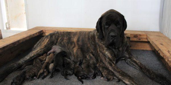 New Mastiff Litter!!!
