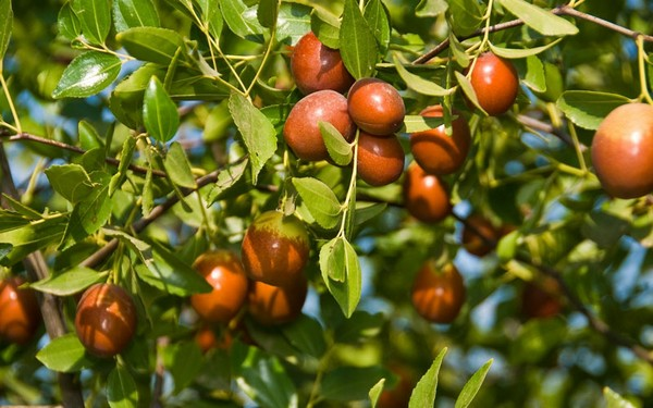 can we bring red dates to australia