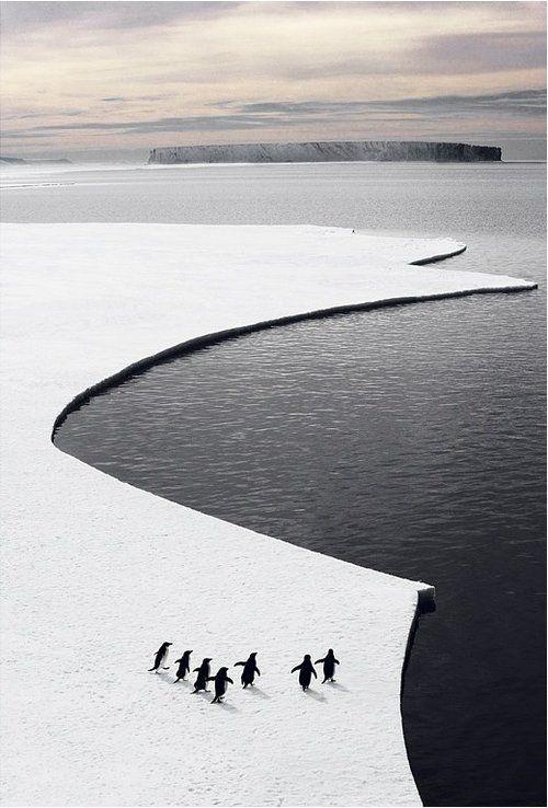 pingouins sur la glace