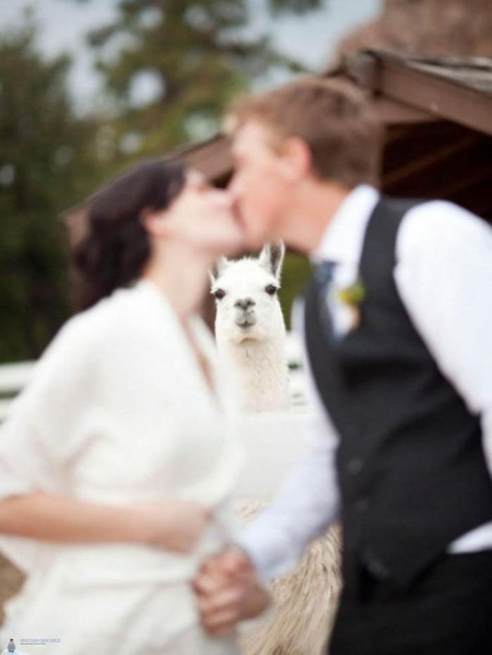 Photobombing par les animaux