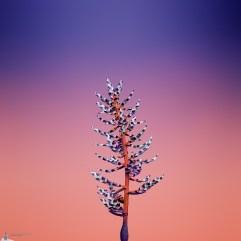 Flower_AECHMEA