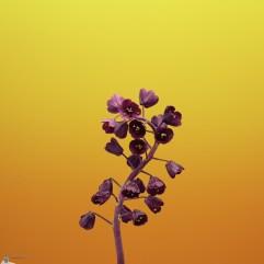 Flower_FRITILLARIA