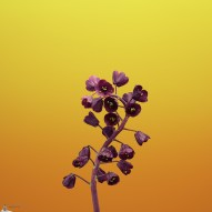 ios_11_gm_wallpaper_flower_fritillaria
