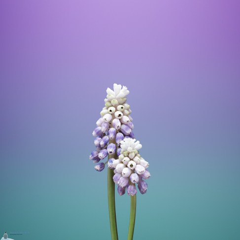 ios_11_gm_wallpaper_flower_muscari