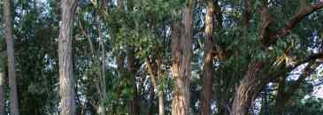 Eucaliptos robustos do talhão 213