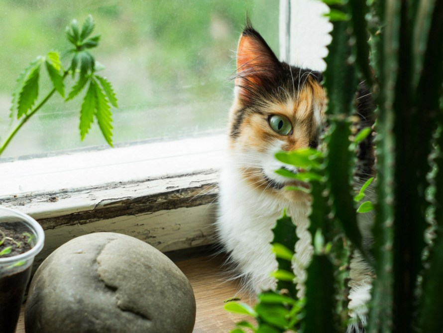 is-giving-your-cats-cannabis-bad-for-their-health