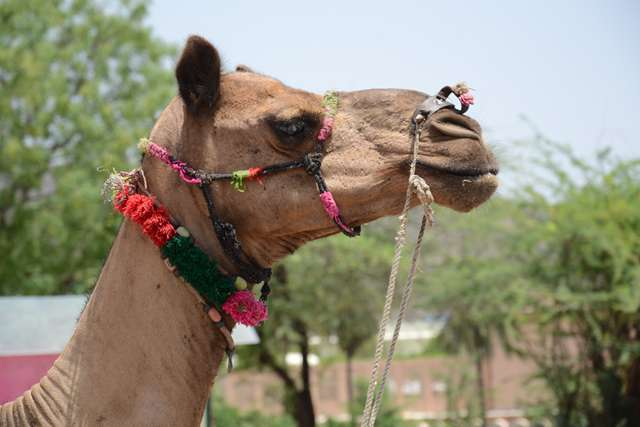 Jaipur_Pride-Camel