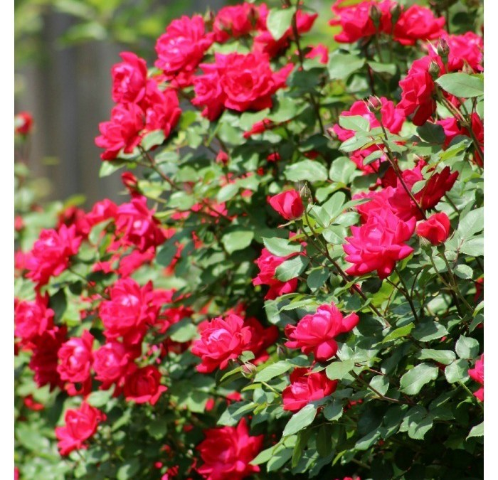 Stunning Rose Garden Tour