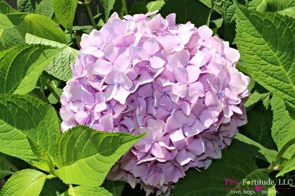 Hydrangea Love by coconutheadsurvivalguide.com
