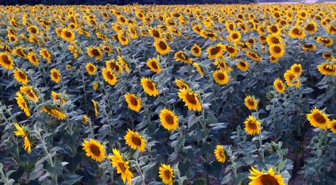 Sunflowers in Languedoc