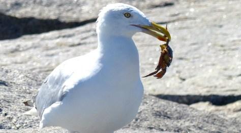 Gull & Crab