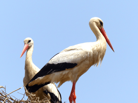 Rabat - Storks