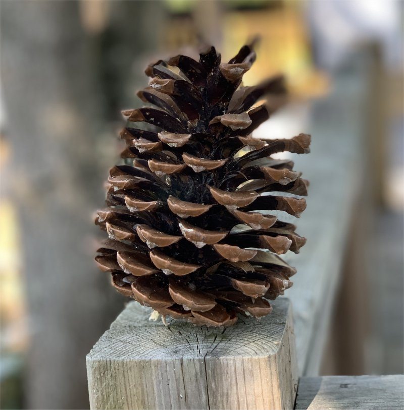 large pine cone from camping les Genêts France