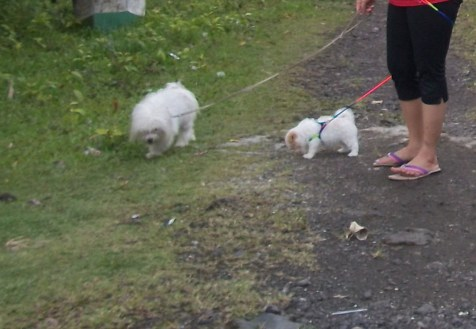 Shih-Poo Dogs on a trail
