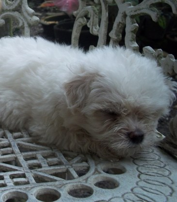 6 weeks old male Shih-poo puppy napping