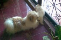 Shih-Poo dad Butchok and puppy Vanilla Bean