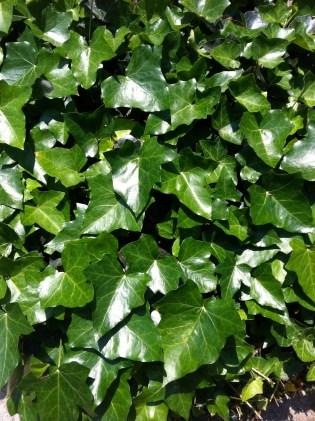 Greenest Ivy