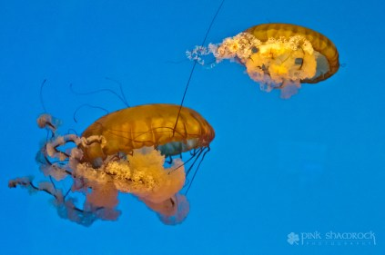 Pacific Sea Nettle at the National Aquarium in Baltimore, Maryland.