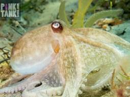 LOGO Pale Octopus