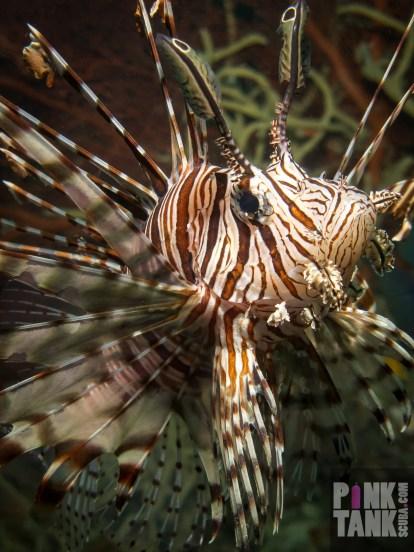 LOGO Lionfish Closeup