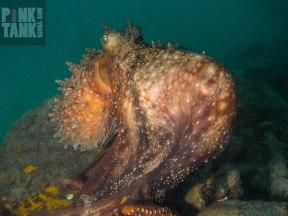 LOGO Octopus hiding chicken