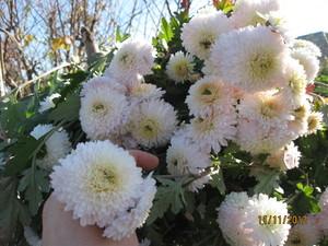 Как правильно посадить дубки цветы осенью. Цветы дубки: выращивание, размножение, болезни