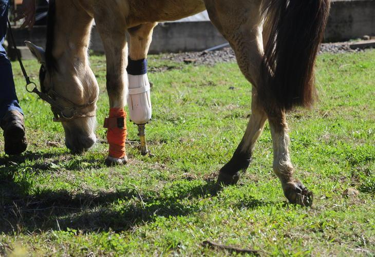 O animal anda com certa facilidade, mas precisa ter cuidado com obstáculos :imagem 4
