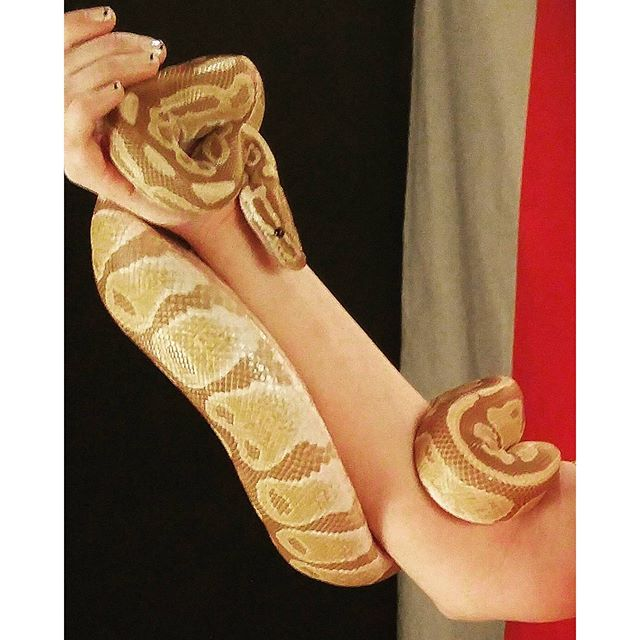 #BallSnake #Beautiful #Reptile #Snake #PhotoOfTheDay
