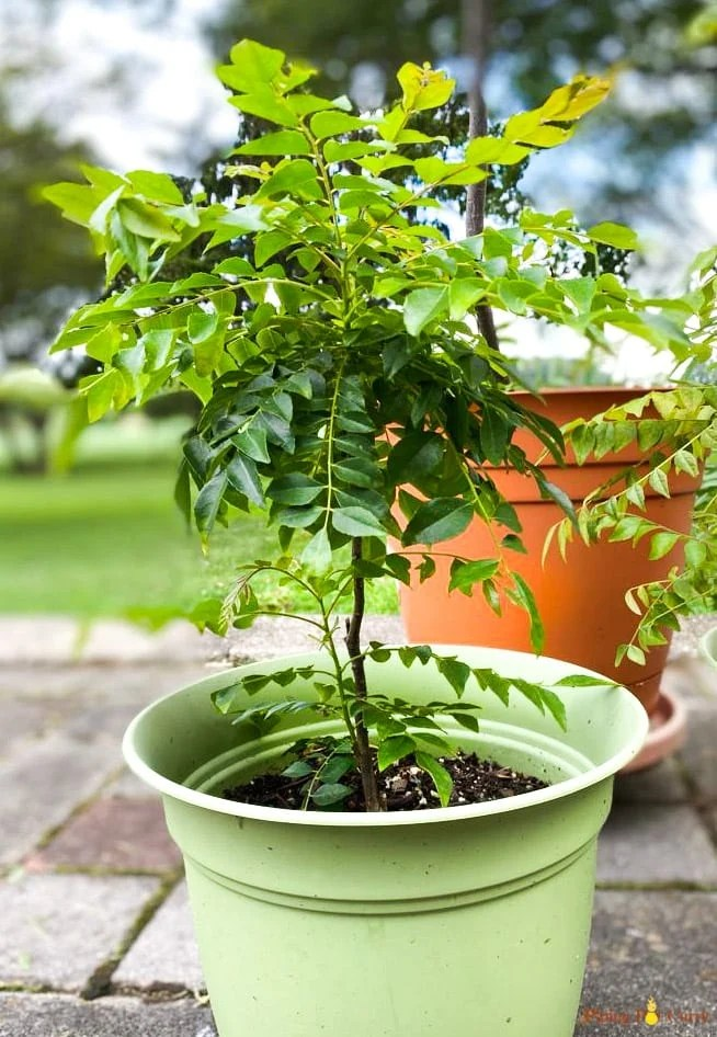 Curry leaves plant in a pot