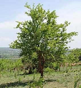 africanblackwood