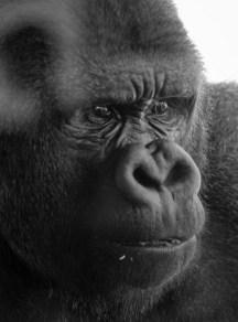 Pipoca com Bacon_Gorillas in the mist_gorila