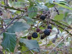 Blackberries Foraging Course Pippin & Gile