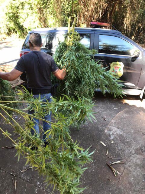Em Piracicaba, Polícia Civil prende jovem de 20 anos que plantava maconha na chácara da família
