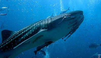 Whale shark at Richelieu Rock
