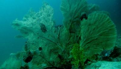Similan Sea fan