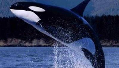 orca - similan Islands