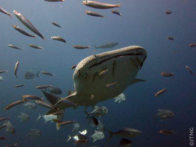 whale shark, Koh Tachai
