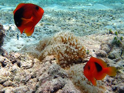 tomato-fish-surin-islands