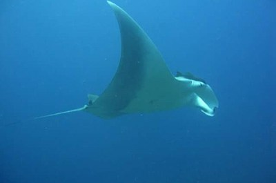manta-ray-similan-islands