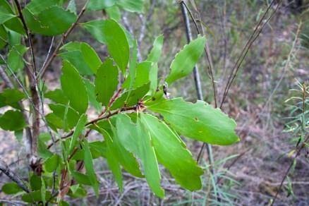 Persoonia (levis)_ Broad-leaf Geebung