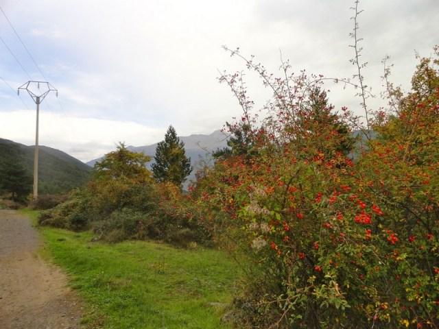 Frutos rojos del escaramujo, o rosal silvestre