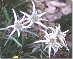 edelweiss - flor de nieve - ordesa