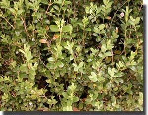 arbusto de boj, muy frecuente en ordesa