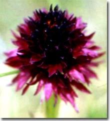 Orquídea negra - ordesa