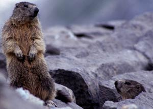 Marmotas en Ordesa