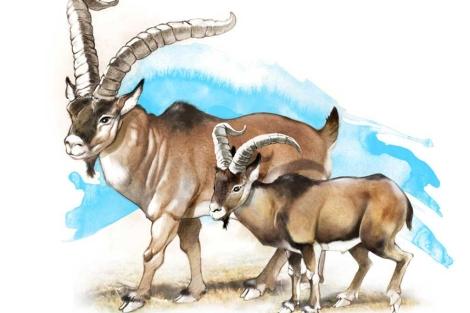 recreación de un bucardo de hace 7.000 años (i) y de otro moderno, extinto en 2000 (d).
