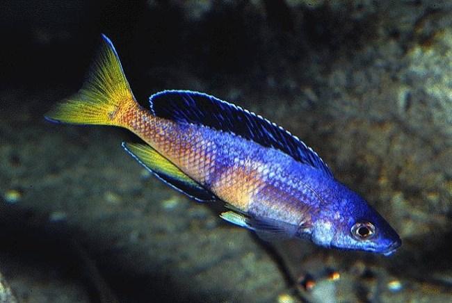 Cyprichromis sp.