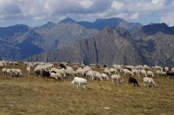 Gos de protecció de ramats_2 · Foto: DAAM