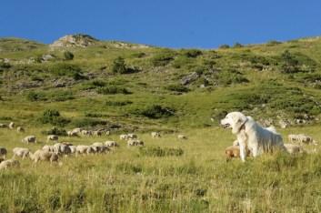 Gos de protecció de ramats_3 · Foto: DAAM