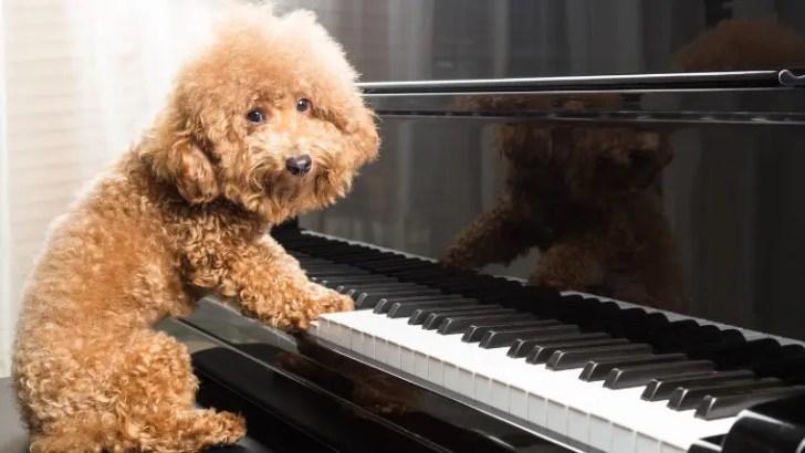 ピアノを弾くワンちゃん(カメラ目線)
